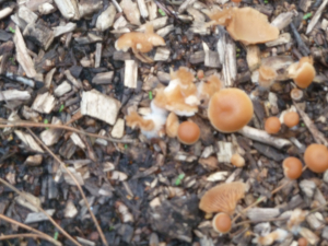 Ui fungus Brandon Woods nr Coventry 26p