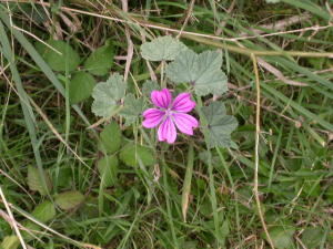 Mallow sp. Middlebere 05-10-03