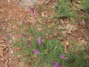 Vetch sp. Poss. Vicia villosa above Agiassos