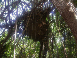 Tree termite nest near Huatulco SIS