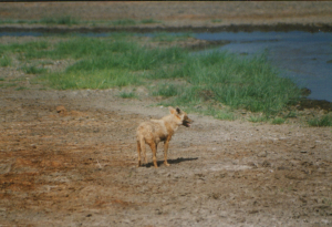 Golden Jackal Ngorongoro Crater sn1