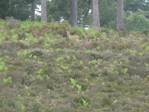 Roe Deer Canford Heath 1