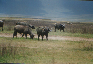 Savannah Buffalo Ngorongoro Crater sn1