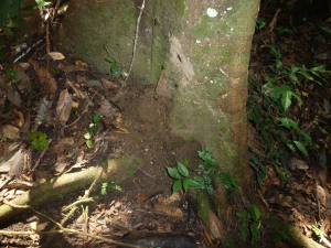 Bullet Ants and nest on trail to canopy tower steps Sani Lodge p1