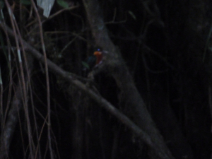 Pygmy Kingfisher Sani Lodge p1e