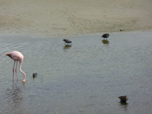 Caribbean Flamingo and Common Moorhen prob Isabella Galapagos p1