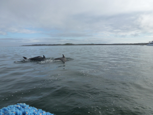 Bottle-nosed Dolphins off Isabella Galapagos p1