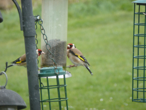 European Goldfinch TW.. Apr 2012 p1
