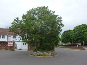Ui tree in car park behind Boone's Poole p1a