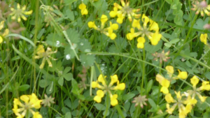 Horseshoe Vetch Wildlife Area Twyford Water Works 10 Jun 2012 p1b