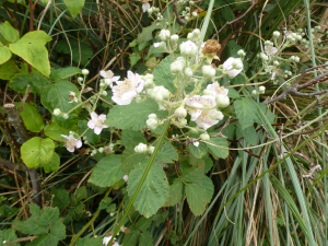 Bramble TW.. 12 Jun 2012 p1