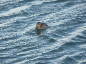 Little Grebe Titchwell NR p1