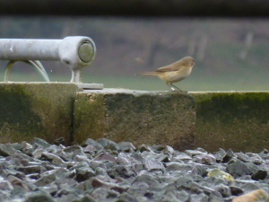 22938 Chiffchaff ringed Corfe Castle Water Treatment Plant p1