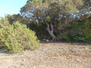 Ui tree N of picnic area E Karpaz p1