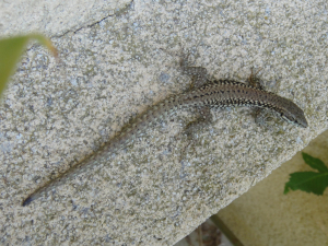 What type of lizard?