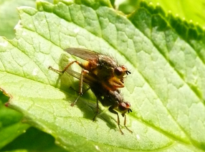 Unknown flies mating in garden.