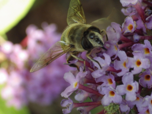 Female Hoverfly