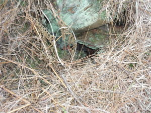 burrow in pine forest