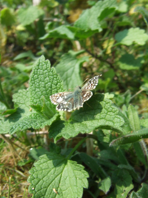 Grizzled skipper?