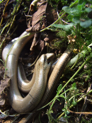 Mating slow worms