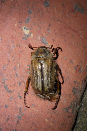 Summer Chafer,  Amphimallon solstitiale