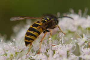 Common Wasp?
