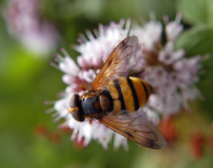 Hoverfly or Bee