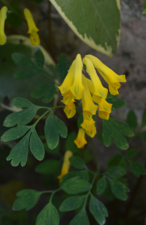 Yellow Bell Shaped Flowers