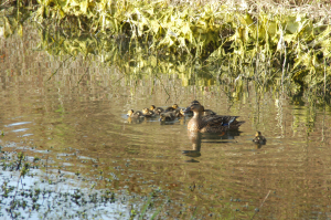 Mallard (Female) with ducklings