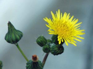 Maybe Smooth Sow Thistle