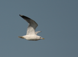 poss Ring-Billed Gull?