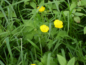 Creeping buttercup Ranunculus repens
