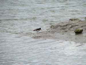 Sandpiper as well