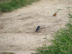 Linnet & Swallow