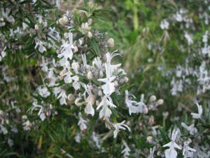 Pale coloured Rosemary