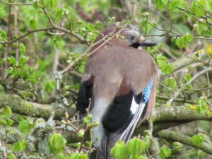 Jay, Freshwater, Isle of Wight