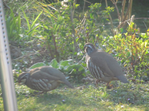 Red-legged Partridges in the garden