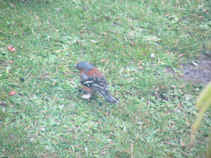 Chaffinch with diseased feet