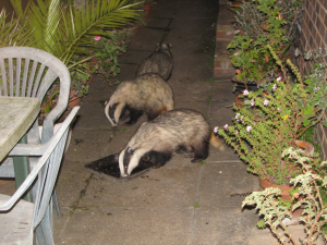 Badgers, St. Lawrence, IOW