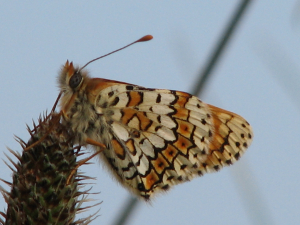 Glanville Fritillary Butterfly- Isle of Wight