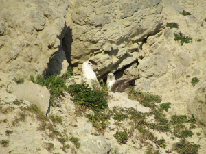 Fulmars near Woody Bay, isle of Wight