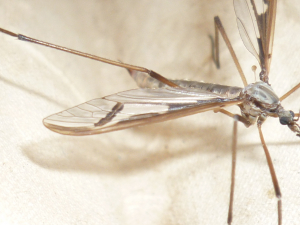 Cranefly that came to a moth trap