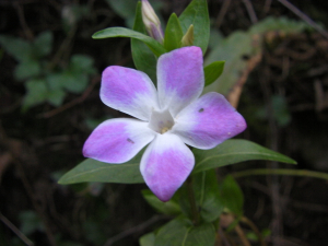 Some kind of periwinkle?