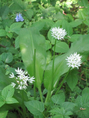 Wild garlic, Limpsfield Common