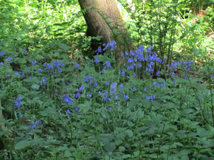 Bluebells, Limpsfield Common