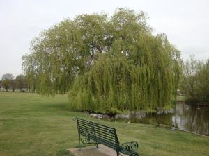 Salix Babylonica -Weeping Willow