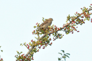 Linnet on Berries