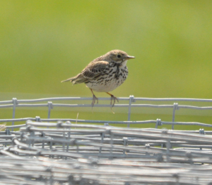 Meadow Pipit on wire