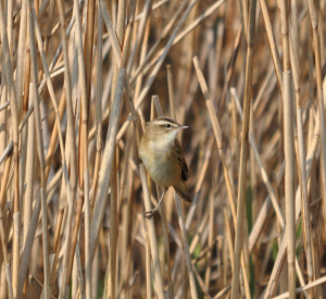 Sedge Warbler reeds Cley April 2011