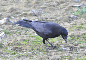 Carrion Crow Startops End